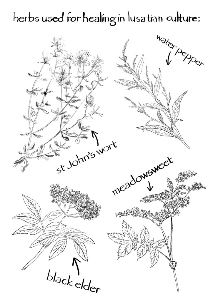 An image of herbs used in healing by the lusatian culture. water pepper, st john's wort, meadowsweet, black elder